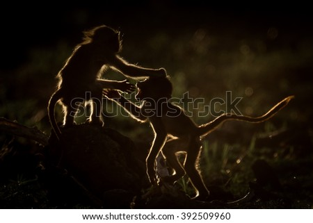 Low key rim lit Chacma baboons playing at sunset, Kruger National Park, South Africa - stock photo