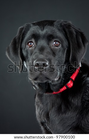 Low key studio portrait of black labrador retriever with red collar on dark background - stock photo