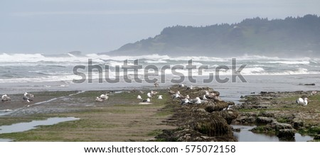 Low tide panorama, tide pools, gulls with barnacle and mussel covered rocks,Oregon Coast