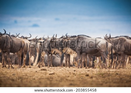Low to high angle of wildebeest during Migration in Africa - stock photo