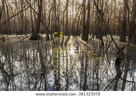 Low view of cypress swamp in the American South at sunrise - stock photo