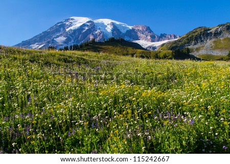 Lower elevation view of Mount Rainier in the fall season with wild flowers in the foreground