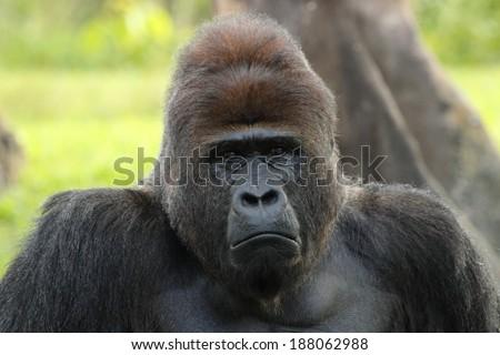 Lowland Gorilla - stock photo