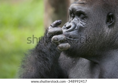 Lowland Gorilla cleaning up his fingers