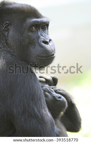 Lowland Gorilla With Baby