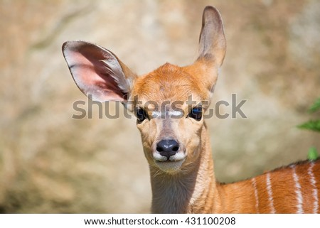 Lowland Nyala (Tragelaphus angasii) beautiful and cute chick. I could watch him hours