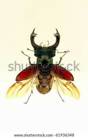 Lucanus cervus      Detailed view of a flying beetle - stock photo