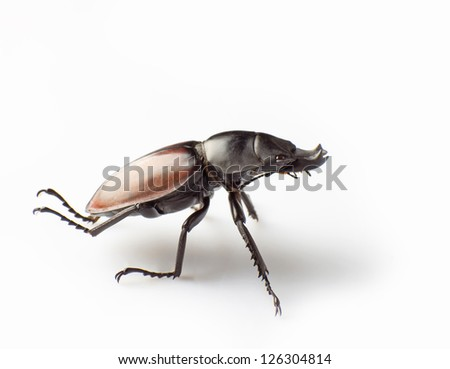 lucanus isolated on white background