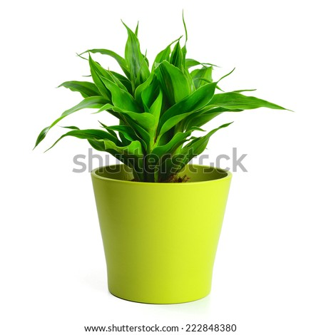 Lucky bamboo in green pot - stock photo