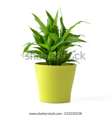 Lucky bamboo isolated on white