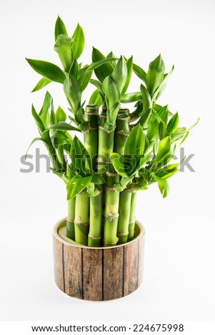 Lucky bamboo plant isolated on a white background. - stock photo
