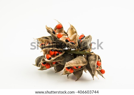lucky bean plant seed isolated on white background - stock photo