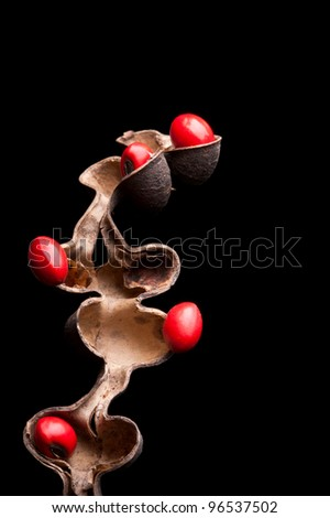 Lucky Bean Seeds (Erythrina Coral flower seeds) - stock photo