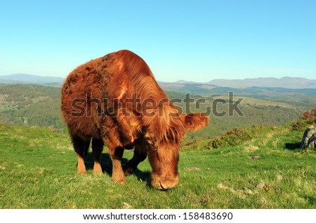 Luing cow on Gummers How  above Lake Windermere in the Lake District National Park - stock photo