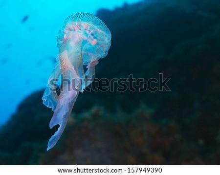 Luminescent jellyfish, Leuchtqualle (Pelagia noctiluca) - stock photo