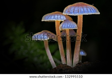 Luminescent mushrooms glowing in the dark of the Ranomafana rainforest of Madagascar. - stock photo