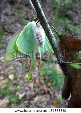 Luna Moth freshly released from it's cocoon is nearly dry and ready for it's first maiden flight as soon as the sun sets. - stock photo