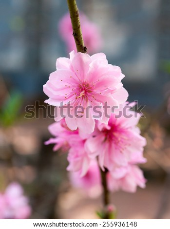 Lunar new year decoration flower-peach blossom, nature background - stock photo