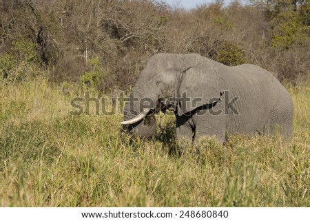 Lunch time - African elephant (Loxodonta africana) - stock photo
