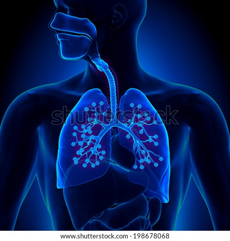 Lungs Anatomy - with detailed Alveoli - stock photo