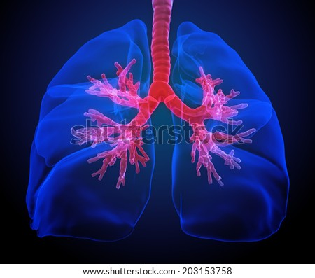 Lungs and bronchi medical illustration - stock photo