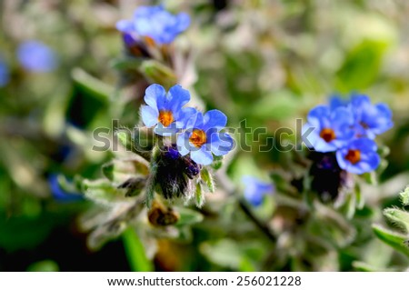 Lungwort or Pulmonary (Pulmonaria) on a field - stock photo