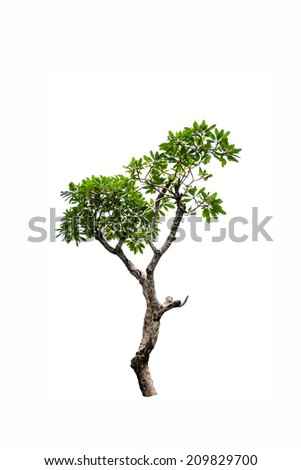 Luntom,Plumeria tree with flowers on white background.