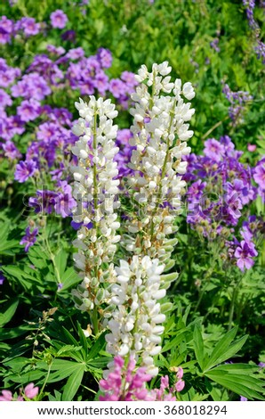 Lupin is a Legume in the meadow in summer