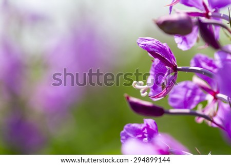 Lupine blossoms on a beautiful summer day