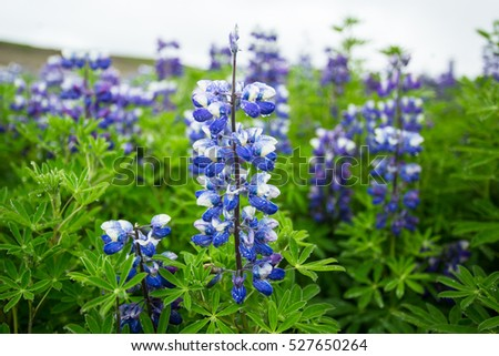 Lupine Field after rain, Iceland.