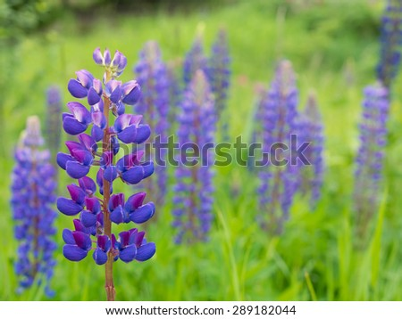Lupine field with blue flowers - stock photo