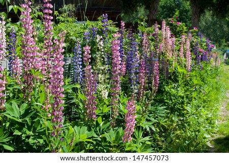 lupine flowers covered by the sun