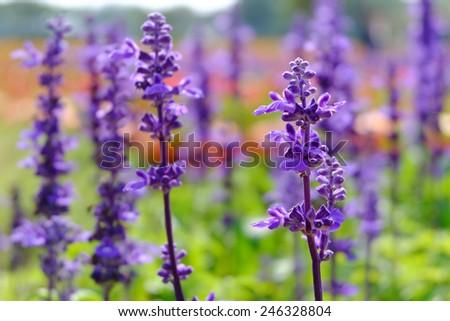 Lupine flowers field - stock photo