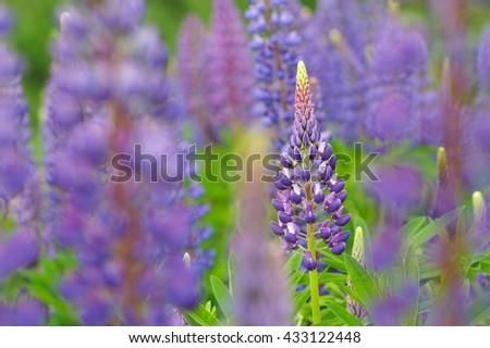 Lupine flowers in lights of sun.