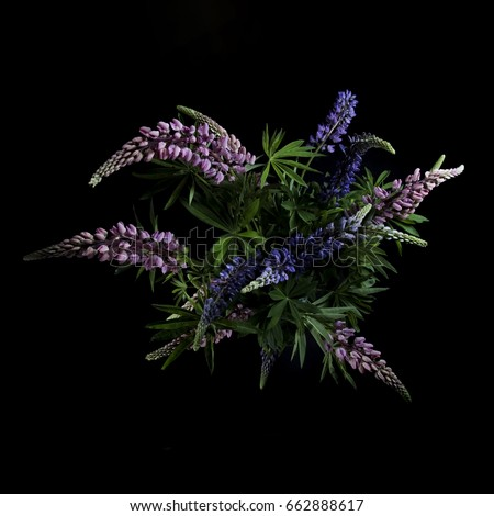 lupine flowers on a black background