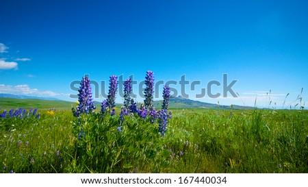 Lupine grows in an open field with a single mountain in the background near Cody, Wyoming - stock photo