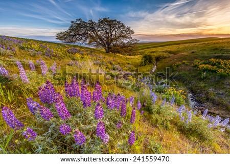 Lupine in sunset at Columbia hills state park, Washington. - stock photo