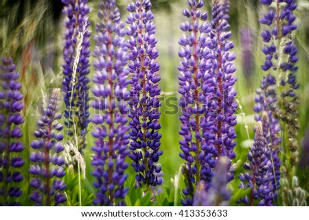 Lupine (Lupinus polyphyllus) on meadow