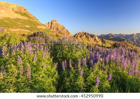 Lupine wildflowers in the rugged Wasatch Mountains, Utah, USA. - stock photo