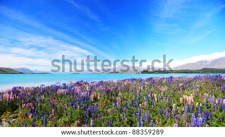 lupines field at lake Tekapo, New Zealand