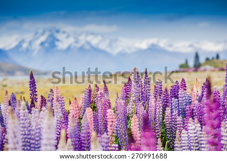 Lupins on the shore of Lake Tekapo, New Zealand - stock photo