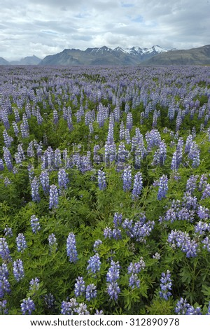 Lupinus growing in Iceland - stock photo