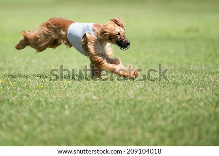 Lure coursing competition - stock photo