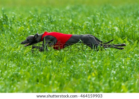 Lure coursing - Italian greyhound