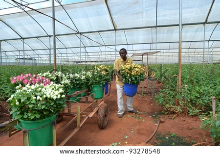 LUSAKA, ZAMBIA - DECEMBER 2:African men in the greenhouses gather roses for export to Europe, which provide employment to 800 farmers, on December 2,2011 in Lusaka, Zambia - stock photo