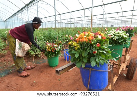 LUSAKA, ZAMBIA - DECEMBER 2:African women in the greenhouses gather roses for export to Europe, which provide employment to 800 farmers, on December 2,2011 in Lusaka, Zambia - stock photo