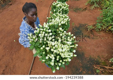 LUSAKA, ZAMBIA - DECEMBER 2: African women in the greenhouses select roses for export to Europe, which provide employment to 800 farmers, on December 2,2011 in Lusaka, Zambia - stock photo