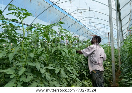 LUSAKA,ZAMBIA - DECEMBER 2: farmer takes care of tomato plants in greenhouses, which provide employment to 800 farmers, on December 2,2011 in Lusaka, Zambia - stock photo