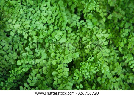 Lush Adiantum capillus-veneris, also known as Southern maidenhair fern, black maidenhair fern, maidenhair fern,or venus hair fern,  shot from above.  Shallow depth of field. - stock photo