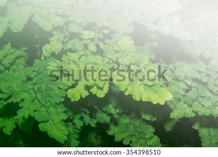 Lush Adiantum capillus-veneris, also known as Southern maidenhair fern, black maidenhair fern, maidenhair fern,or venus hair fern, on sweet tone - stock photo